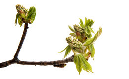 Branch of chestnut isolated Stock Images