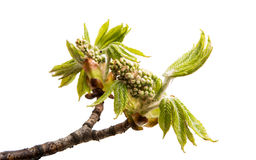 Branch of chestnut isolated Stock Photos