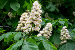 Branch of chestnut tree with flowers. Royalty Free Stock Photo