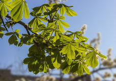 Branch chestnut Stock Photo