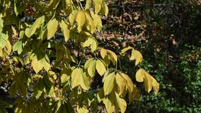 Branch of chestnut with yellow leaves. Moving in the wind on a sunny day, early autumn stock video footage