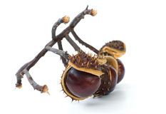 Branch with chestnuts Stock Photo
