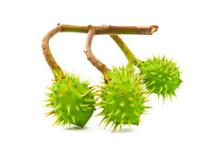 Branch with chestnuts isolated Royalty Free Stock Image