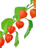 Branch of Chinese Lantern fruits Royalty Free Stock Photo