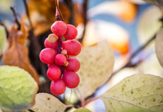 Branch of chinese magnolia vine berries Stock Photos