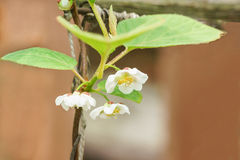 A branch of the Chinese Magnolia vine lat. Schisandra chinensis flowers. Spring stock photo