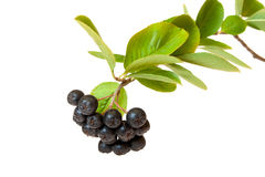Branch chokeberry isolated on white. Branch chokeberry with green leaves isolated on white background Stock Photo