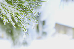 Branch of the Christmas with the snow Royalty Free Stock Photo