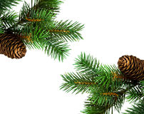 Branch of Christmas tree. On white Royalty Free Stock Image