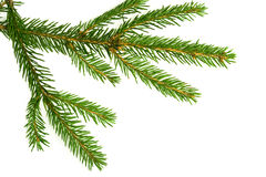 Branch of a Christmas Tree. On white background stock photography