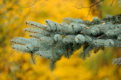 The branch of a Christmas tree . The branch of a Christmas tree in autumn stock photos
