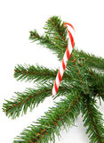 Branch of christmas tree with candycane Royalty Free Stock Photography