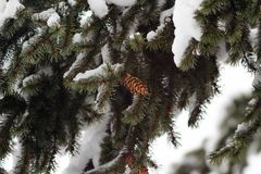 Branch of Christmas tree with cone covered snow. Branch of Christmas tree with cone covered snow Stock Photos