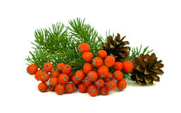 The branch of a Christmas tree, cones and red berries. Stock Photos