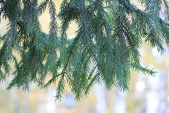 A branch of a Christmas tree stock images