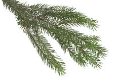 Branch of Christmas tree isolated on white. Background Stock Image