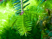 Branch of a Christmas tree Royalty Free Stock Image