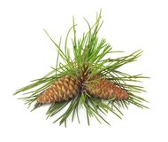 Branch of Christmas tree and pine cones Royalty Free Stock Photo