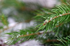 Branch of Christmas tree with snow. Christmas tree branch with snow Royalty Free Stock Images