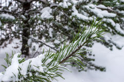 Branch Christmas tree in the snow in the frosty open air stock images