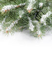 Branch of Christmas tree on a snow over white background Royalty Free Stock Photography