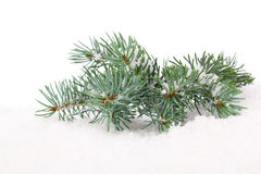 Branch of Christmas tree in snow Stock Photos
