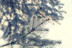 Branch of a Christmas tree in a sunday sunny afternoon. Colorful natural background royalty free stock photo