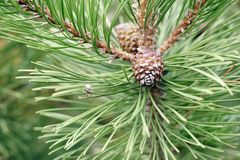 Branch of Christmas tree with two pine cones Stock Image