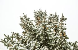 A branch of a Christmas tree under the snow. Snowfall.  Stock Image