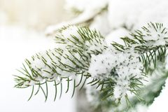 A branch of a Christmas tree under the snow. Snowfall.  Stock Images