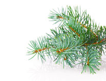 Branch of Christmas tree Stock Photo