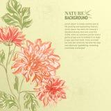Branch of Chrysanthemum Stock Photos