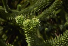 Monkey puzzle tree. Branch close up of a monkey puzzle tree Royalty Free Stock Image