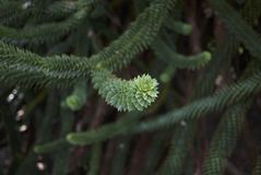Monkey puzzle tree. Branch close up of a monkey puzzle tree Stock Photo