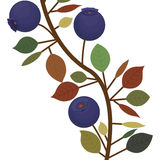 Branch closeup with purple natural blueberries Royalty Free Stock Photography