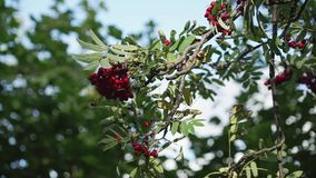 A branch and clusters of mountain ash prickling in the wind against the sky stock footage