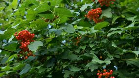 Branch with clusters of viburnum berries or Viburnum opulus. Juicy red berries and green leaves hang on the branches of. A tree. Close-up stock video