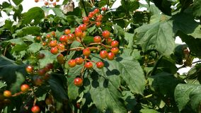 Branch with clusters of viburnum berries or Viburnum opulus swinging on wind. Juicy red berries green leaves hang on the. Branch with clusters of viburnum stock video footage