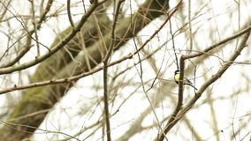 An coal tit. On an branch is an coal tit singing stock footage