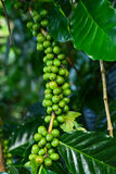 Branch of coffee beans on coffee tree. For backgound Stock Photos