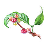 The branch of coffee. Isolated on a white background. Watercolor stock illustration