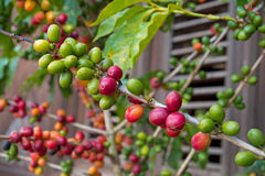 Branch of coffee plant with berry various color, wooden jalousie Royalty Free Stock Photos