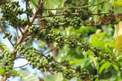 Branch of coffee tree with green beans royalty free stock photo