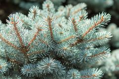 Branch of Colorado blue spruce tree. Branch of Colorado blue spruce or Picea pungens with needle-like leaves. Close-up stock photo royalty free stock image