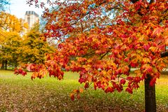 Branch of Colorful Leaves during Autumn in Lincoln Park Chicago. A branch of colorful leaves at a park in Lincoln Park Chicago during autumn royalty free stock image