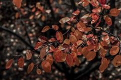 Branch with colorful leaves in Autumn. stock images