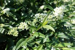 Branch of common privet in late summer stock photos