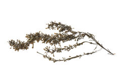 Branch of common seaweed Stock Images