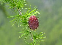 Branch with cone of European larch (Larix decidua) Stock Photos