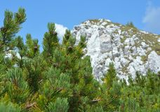 Branch with cone. Pinus mugo Stock Photo